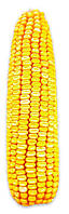 Насіння кукурудзи Дніпровський 181 СВ (ФАО 180)