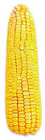 Семена кукурузы Солонянский 298 СВ (ФАО 310)