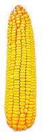 Семена кукурузы Соколов 407 МВ (ФАО 400)