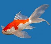 Золотая рыбка Комета Сараса (8 - 11 см)