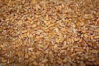 Семена озимой пшеницы Фаворитка (безостая) 1-я репродукция