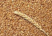 Семена озимой пшеницы Богдана (безостая) 1-я репродукция