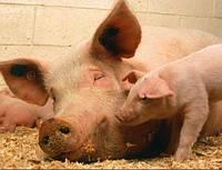 Мікотоксикоз у свинарстві – небезпека, що приховується в неякісних кормах