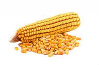 Посевные семена кукурузы Исбери французской селекции