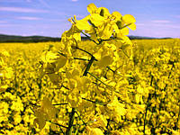 Семена рапса озимого — сорт Черный Велетень