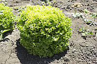 Семена салата  Локарно 1000 драже