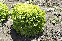 Семена салата  Локарно 1000 семян RIJK ZWAAN / Рийк Цваан