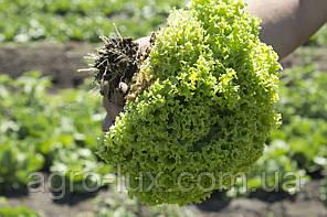 Семена салата зеленого Эстроза 5 г Enza Zaden / Энза Заден