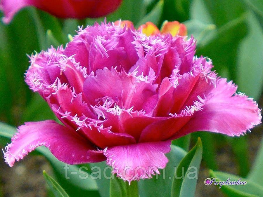 Тюльпан Mascotte (Маскотте)12+