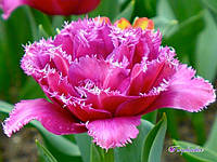 Тюльпан Mascotte (Маскотте)12+, фото 1