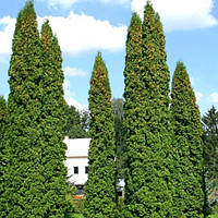 Туя западная Колумна (Thuja occidentalis Columna)