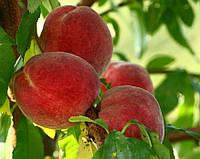 Саженцы персика Златодар