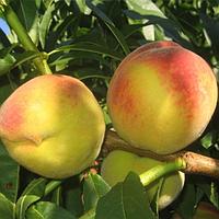 Саженцы персика Чаривнык
