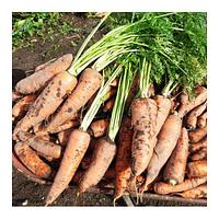 Cемена моркови Осенняя Королева 500 грамм Kouel (SX)