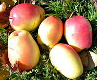 Саженцы яблони Сенап Крымский