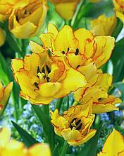 Тюльпан Aquilla (Акилла) многоцветковый