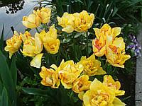 Тюльпан Aquilla (Акилла) многоцветковый 11/12