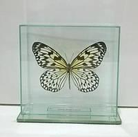 Сувенир - Бабочка под стеклом Idea leuconoe