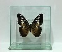 Сувенир - Бабочка под стеклом Parthenos sylvia