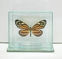 Сувенир - Бабочка под стеклом Lycorea cleobaea