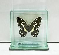 Сувенир - Бабочка под стеклом Papilio demoleus