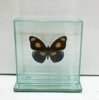 Сувенир - Бабочка под стеклом Catonephele numilia