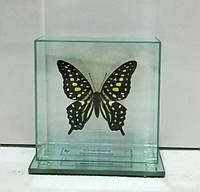 Сувенир - Бабочка под стеклом Graphium agamemnon