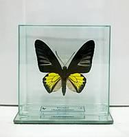 Сувенир - Бабочка под стеклом Troides rhadamantus m