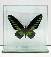 Сувенир - Бабочка под стеклом Trogonoptera brookiana