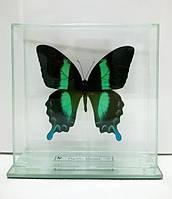 Сувенир - Бабочка под стеклом Papilio blumei