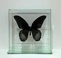 Сувенир - Бабочка под стеклом Papilio rumanzovia m