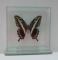 Сувенир - Бабочка под стеклом Papilio constantinus