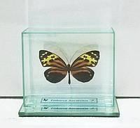 Сувенир - Бабочка под стеклом Tithorea harmonia