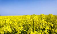 Синтетик семена озимого рапса