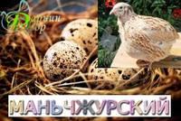 Перепелиное инкубационное яйцо, Маньчжурский (Французской селекции)
