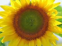 Семена подсолнечника Тунка от Limagrain