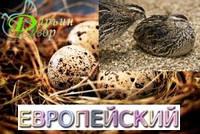 Перепелиное инкубационное яйцо, Фараон Европейский