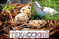 Перепелиное инкубационное яйцо, Техасский альбинос (бройлерный)