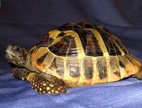 Предлагаем черепах, сухопутные черепахи