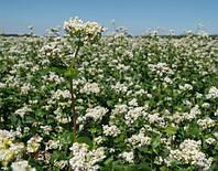 Семена гречихи Дикуль (крупнозернистая)