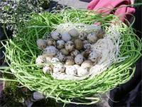 Лечебные свойства перепелиных яиц