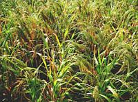 Семена желтого посевного проса сорта «Харьковское-31» (элита и 1 й репродукции)