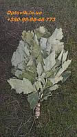 Дубовый веник для бани Канадский дуб