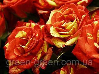 Роза спрей Flash Fire
