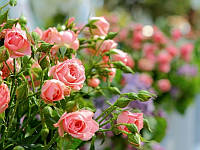 Роза спрей Lydia, саженец