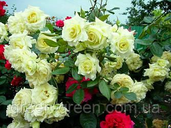 Роза плетистая Elfe (Эльф), саженец
