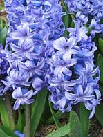 Гиацинт Delft Blue, купить луковичные растения