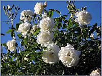 Роза плетистая  White Beauty