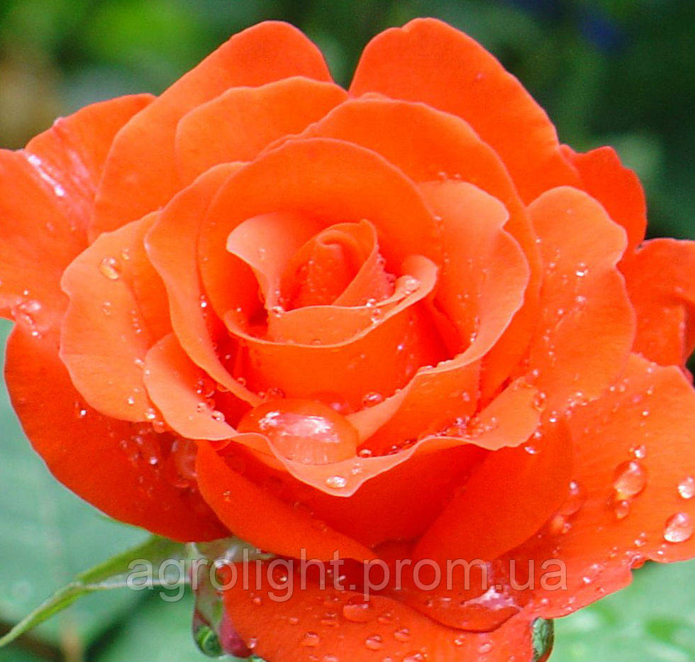 Роза чайно-гибридная Анжелика, купить саженцы роз - Агролайт в Одессе