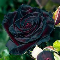 Роза чайно-гибридная Блэк Баккара (Black Baccara), купить саженцы роз